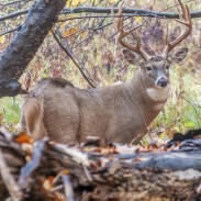 A close examination of B&C record stats might lead you to your own trophy whitetail. Image copyright iStock Images/Lightwriter1949.