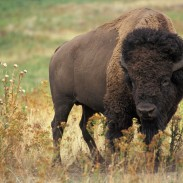 "Getting too close to a relatively ""tame"" bison can result in a painful experience, as one tourist found out the hard way."
