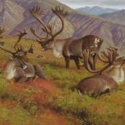 Mountain Caribou Hayden