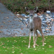 Deer may be cute, but they don't make good pets. Not only is it inadvisable to keep them, it is also illegal.