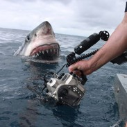 Dave Riggs risks life and limb to capture some close-ups of this large great white.