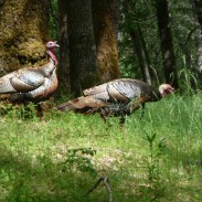Michigan's turkey numbers are up and so is hunter success.