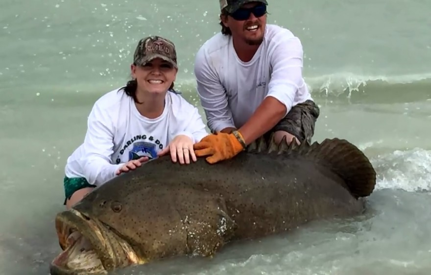 Florida fishing regulations goliath grouper for Florida fishing regs