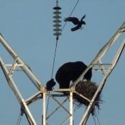 ravenbear2
