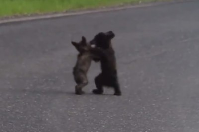 Video Tiny Bear Cubs Wrestle in Yosemite