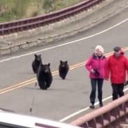 Bears montana