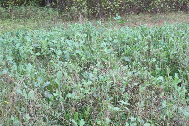 This throw-and-grow food plot is planted in a small clearing on a piece of public hunting land. Very few people know where it is found, but the deer know.