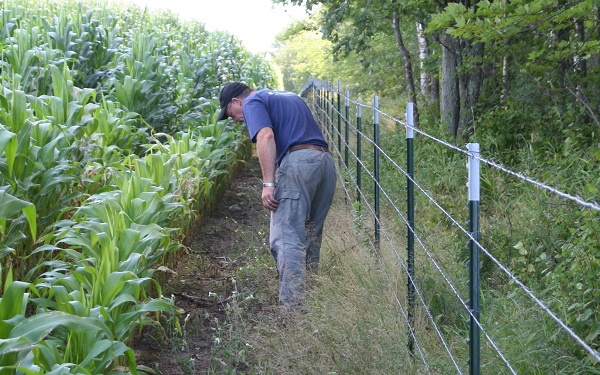 Planting turnips right into a corn field can yield surprising good hunting when the corn is harvested.