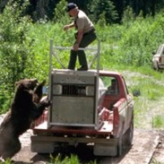 Can a bear knock over a heavy steel trap just because it's angry enough? It sure can.