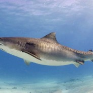 Anglers and scientists off the coast of Hilton Head tagged one of the largest tiger sharks seen on the East Coast.