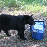 Florida officials have confirmed that a bear hunt will take place later this year., due in part to increasing bear encounters across Florida.