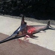 According to the Hawaii Department of Land and Natural Resources, a man was killed last Friday by this roughly six-foot, 40-pound swordfish .
