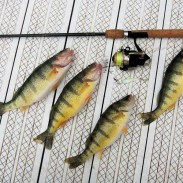 Michigan has an abundance of panfish for the prospective angler, including yellow perch like these.