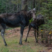Winter ticks are taking a bite out of New Hampshire's moose population.