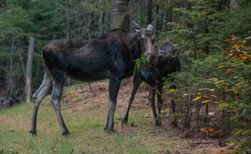 N.h. Moose New Hampshire Collared...