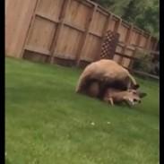 bearbacklawn2
