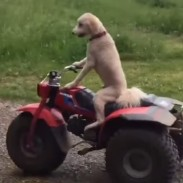 dog3wheeler