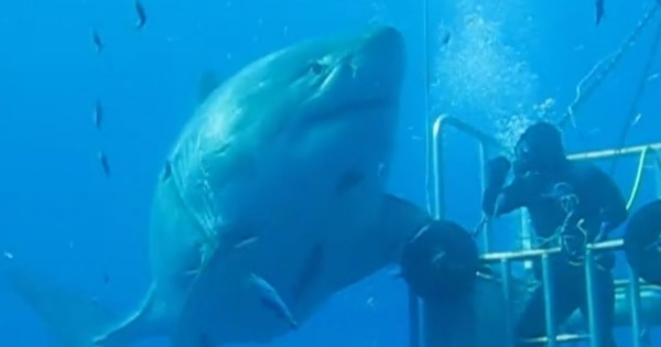 Video Is This 20 Foot Great White Shark The Largest Ever