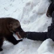 wolverine rescue