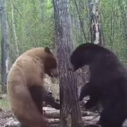 bears attack