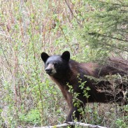 The author saw 34 bears in all during his five-day hunt in western Manitoba. Several of them were color-phase bears.