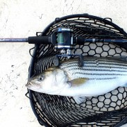 The author put the Ike Series Medium Heavy Casting Rod to good use fishing for striped bass in North Carolina.
