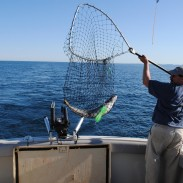 An angler nets a Lake Michigan salmon in summer.