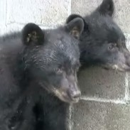 These two bear cubs are safe for now after their mother was put down by conservation officers.