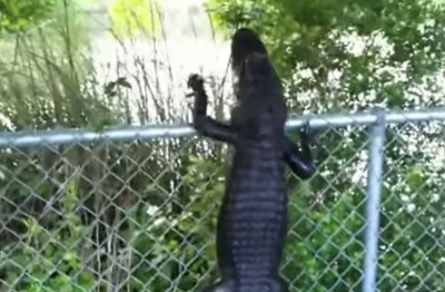 Video Alligator with Ninja Skills Deftly Climbs Fence