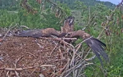 Video Eagle Attempts Nest Landing Fails Horribly