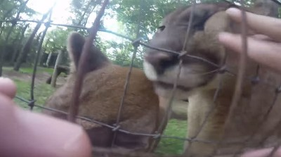 Video Man Jumps Zoo Fence to Pet Cougars