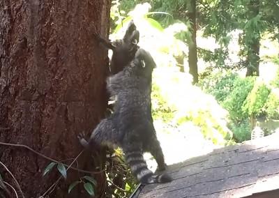 Video Raccoon Mom Teaches Kit How to Climb