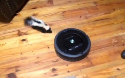 Video Baby Skunk Plays with a Roomba in Someones Living Room