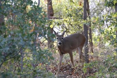 Virginia Bans Deer Urine Attractants Due to CWD Fears