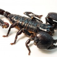 Despite their fearsome reputation, most species of scorpions are actually edible. Don't expect them to taste like lobster though.