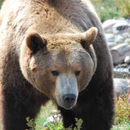 A 15-year-old male grizzly was shot and killed after it broke into a home in British Columbia.
