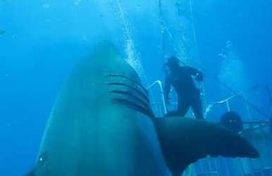 Hey man, maybe you should stay inside the cage when the 20-foot great white shark comes to say hi.