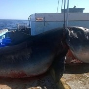 This recently caught tiger shark appears massive, but some say it is not as big as it looks.