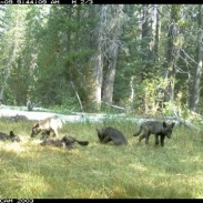 A trail camera photo of several wolf pups in California.