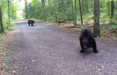 Bears Euthanized Following Encounter with Connecticut Hiker