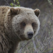 Two grizzly attacks on hunters in British Columbia in less than a week have some people worried.