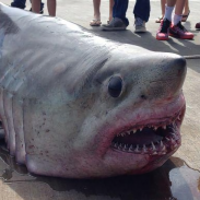 Porbeagle sharks are known for their large eyes and conical noses, but this one caught off Massachusetts last weekend is especially strange looking.