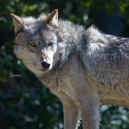 Michigan officials confirmed that there was at least one gray wolf in the Lower Peninsula as of last year.