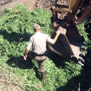 A game warden stands in a pit filled with confiscated marijuana plants.
