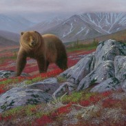 Grizzly in Fall Alpine Habitat