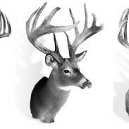 Deer Video Featured