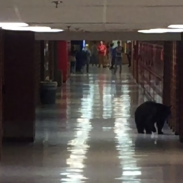 Bozeman High School's official mascot is a hawk, but the only wild animal in the school on Wednesday was this confused black bear.