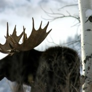 Is a single 9mm round capable of stopping a charging moose? In this case, certainly.