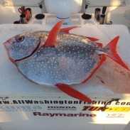 It may not be as large as other opah records, but Washington's new potential record is a rare find.