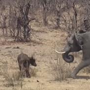 elephantvsbuffalo